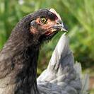 poulets bio normandie